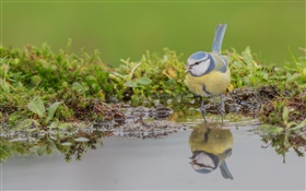 Blue tit, bird close-up, water reflection HD wallpaper