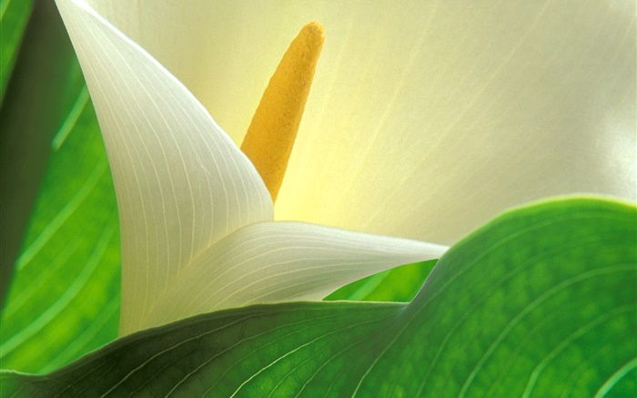 Calla lily petals macro photography Wallpapers Pictures Photos Images
