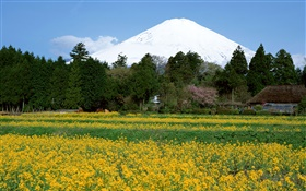 Canola flowers field, trees, Mount Fuji, Japan HD wallpaper