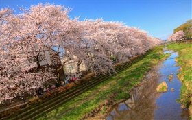 Cherry flowers, bloom, canal, house, spring HD wallpaper