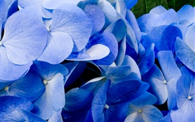 Close-up of blue hydrangea HD wallpaper