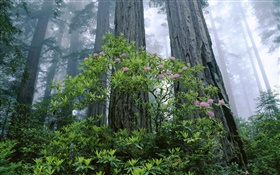 Coast Redwood, rhododendron, Redwood National Park, California, USA HD wallpaper