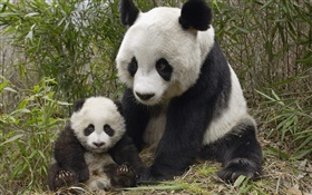 Cute panda, mother and cub HD wallpaper
