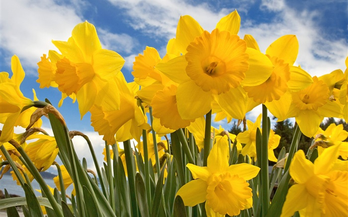 Daffodils, yellow petals, blue sky and white clouds Wallpapers Pictures Photos Images