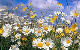 Daisy flowers, white petals, blue sky HD wallpaper