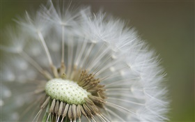 Dandelion close-up photography HD wallpaper
