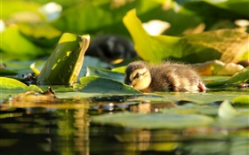 Duckling in water, leaves HD wallpaper