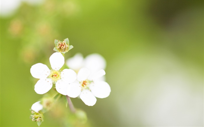 Five petals, white flowers, bokeh Wallpapers Pictures Photos Images