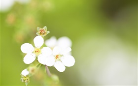 Five petals, white flowers, bokeh HD wallpaper