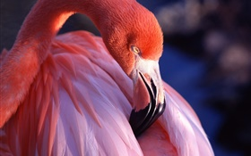 Flamingo head and feathers close-up HD wallpaper