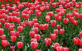 Flowers field, red tulips HD wallpaper