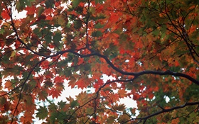Forest, autumn, tree, maple leaves