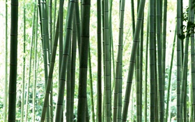 Fresh green bamboo forest