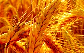 Gold wheat close-up HD wallpaper