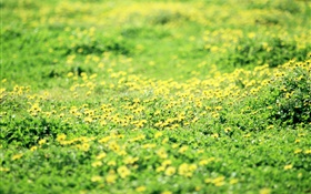 Grass, lawn, yellow wildflowers HD wallpaper