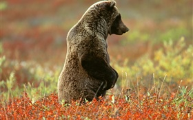 Gray bear standing HD wallpaper