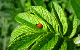 Green leaves, ladybug, insect HD wallpaper