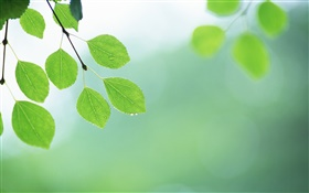 Green leaves, twigs, dew HD wallpaper
