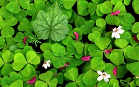 Green oxalis and small white flowers