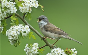 Grey warbler, bird close-up, hawthorn tree, white flowers HD wallpaper