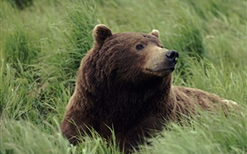 Grizzlies looked up, the grass HD wallpaper