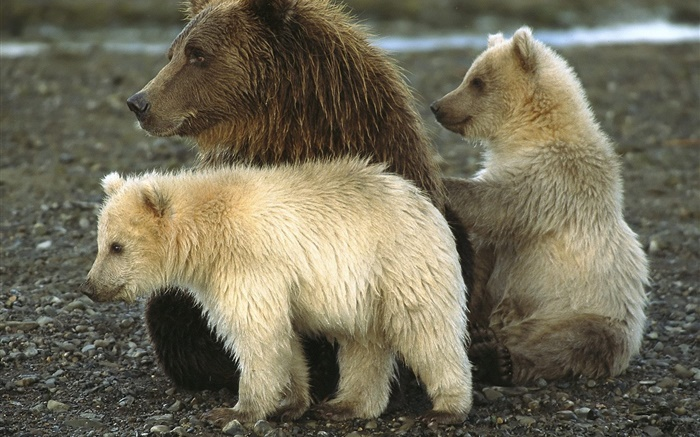 Grizzly and cub Wallpapers Pictures Photos Images