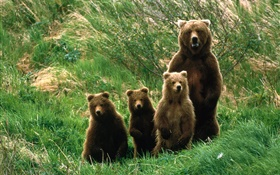 Grizzly bear family, grass HD wallpaper