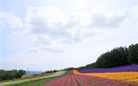 Hokkaido, Japan, beautiful flowers field, colorful