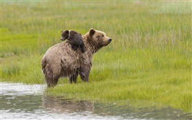 Lake Clark National Park, Alaska, bears, water, meadow HD wallpaper