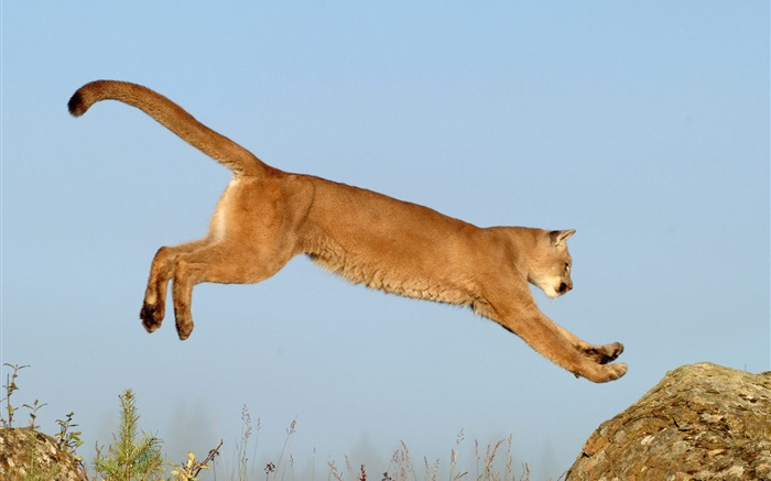 Lioness jumping Wallpapers Pictures Photos Images