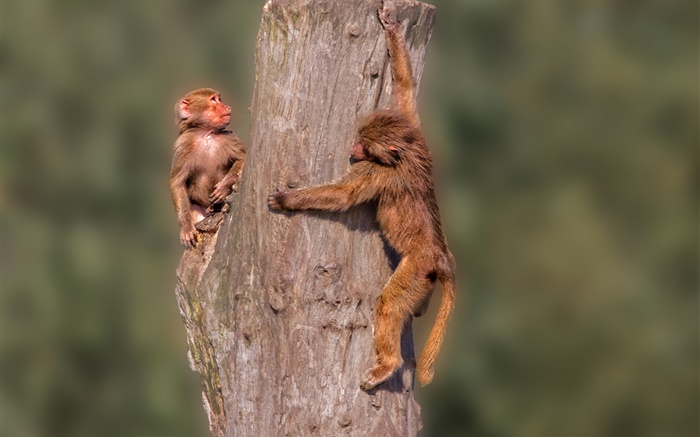 Little monkeys, stump Wallpapers Pictures Photos Images