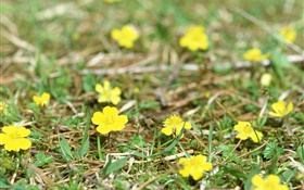 Little yellow wildflowers, ground, grass
