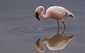 Lonely flamingo HD wallpaper