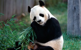Lovely panda eating bamboo HD wallpaper