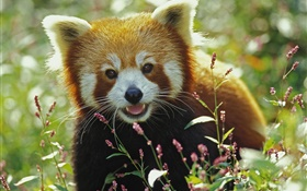 Lovely red panda HD wallpaper