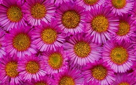 Many pink chamomile flowers HD wallpaper