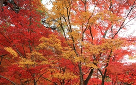 Maple forest, trees, red color leaves, autumn HD wallpaper