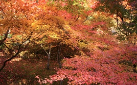Maple forest, trees, red leaves, autumn