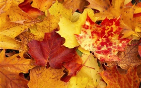 Maple leaves, red and yellow, autumn HD wallpaper