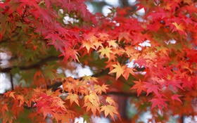 Maple leaves, red color, autumn