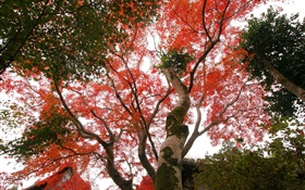 Maple tree look up, red leaves, autumn, house HD wallpaper