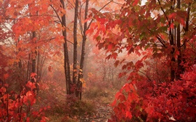 Maple trees, forest, red leaves, autumn HD wallpaper