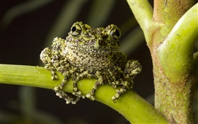 Moss Frog, native to northern Vietnam HD wallpaper