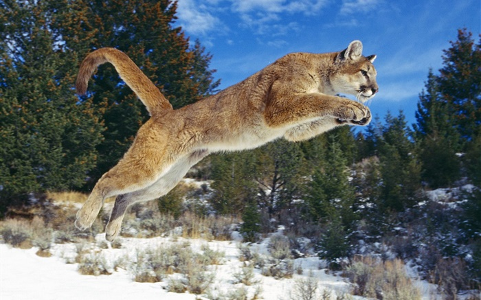 Mountain lion jumping, winter, snow Wallpapers Pictures Photos Images