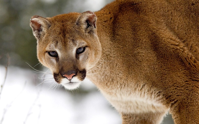 Mountain lion look at you Wallpapers Pictures Photos Images