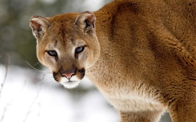 Mountain lion look at you HD wallpaper