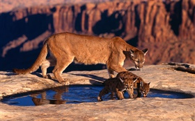 Mountain lion, mother and cubs HD wallpaper