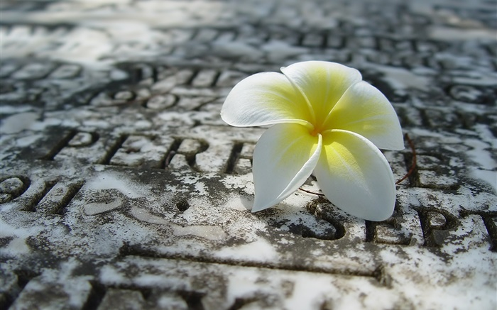 One plumeria on ground Wallpapers Pictures Photos Images