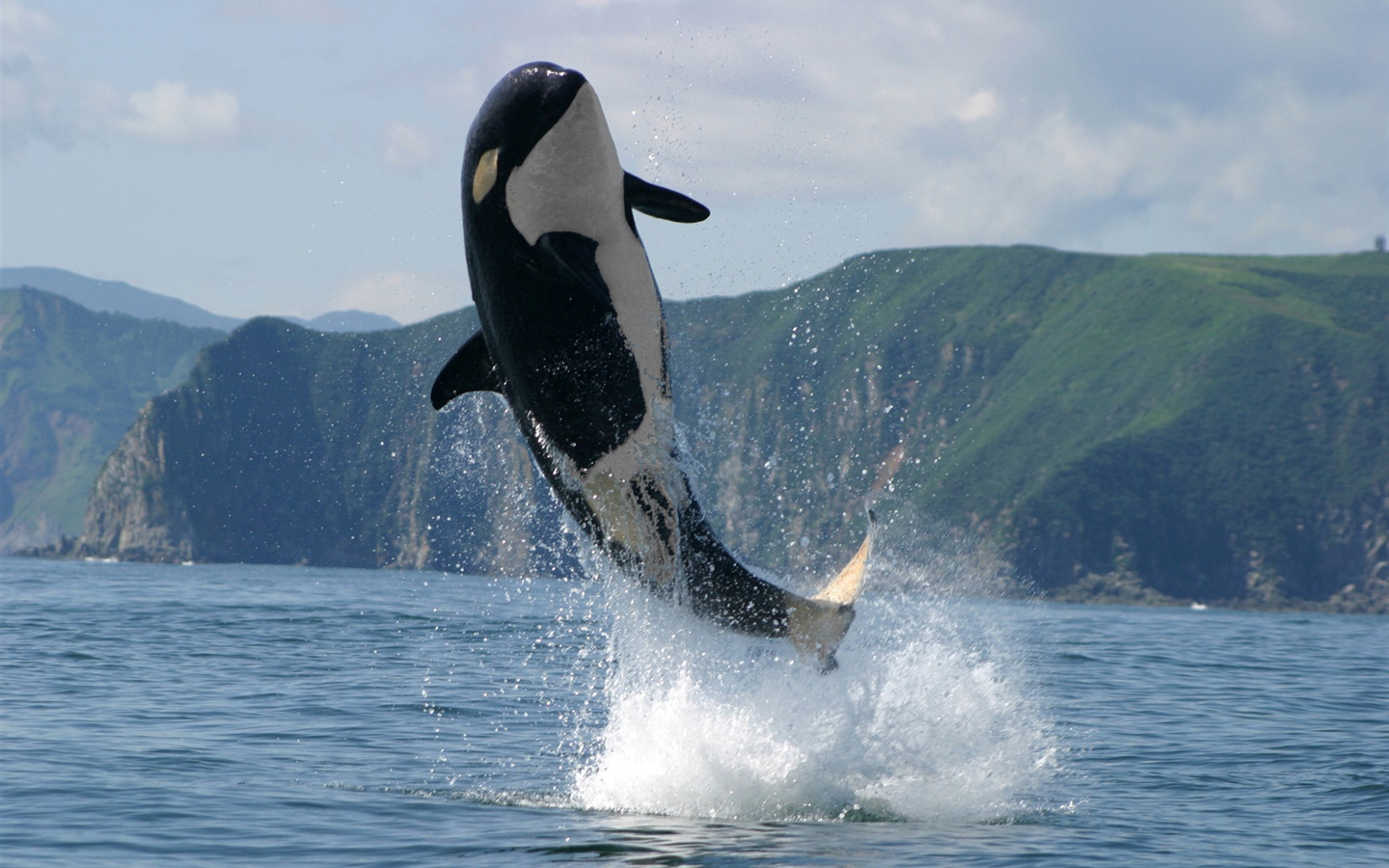Orca jumping, sea, water splash 1440x900 wallpaper