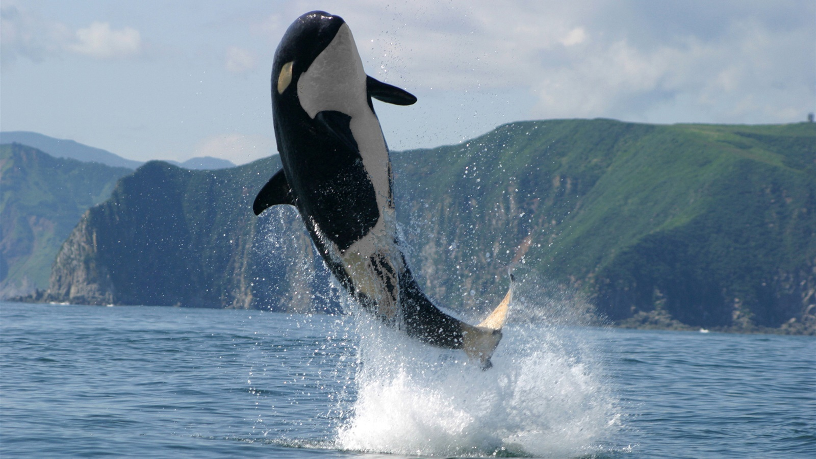 Orca jumping, sea, water splash 1600x900 wallpaper
